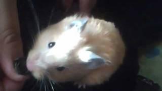 Las Aventuras del Hamster Dorado Jake
