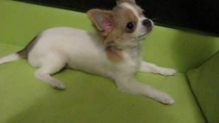Бело-голубой длинношерстный щенок Чихуахуа