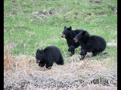 Black Bears on The Yellowstone River Bridge - The True Story