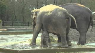 Baby Elephant Lily at the Oregon Zoo