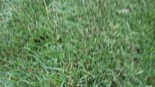 Рулонный газон Набережные Челны(, 2013-08-07T09:46:17.000Z)