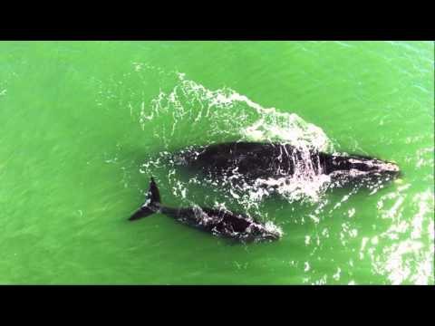 Drone captures Rare North Atlantic Right Whales - in Ormond Beach, Florida