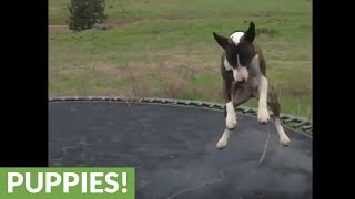 This Bull Terrier jumps on a trampoline just like humans!
