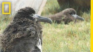 Saving Albatross Chicks From Tsunamis and Rising Seas