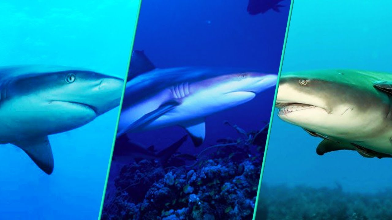 Which Shark Has The Most Attacks On Humans