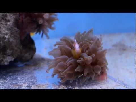 Pink Skunk Clownfish Hosting