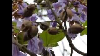 Princess Tree (Paulownia tomentosa)