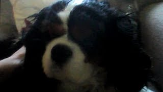 Cavalier King Charles spaniel snoring