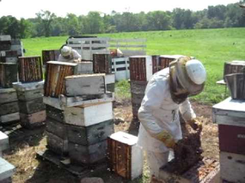 Busy Beekeepers Harvesting Honey in Ontario