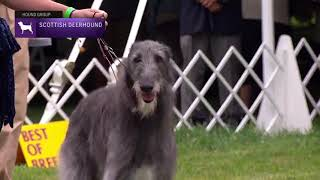 Scottish Deerhounds   Breed Judging 2021