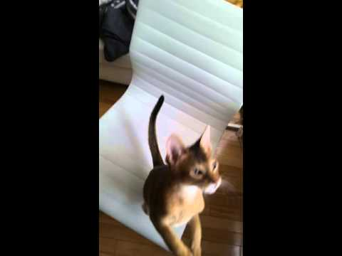 Training Abyssinian cat to sit using bananas as treats!
