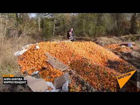Как проходит сбор мандаринов в Абхазии