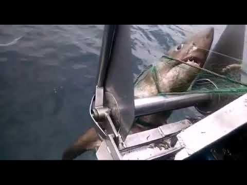 El tiburón de 300 kilos que rondó Ons