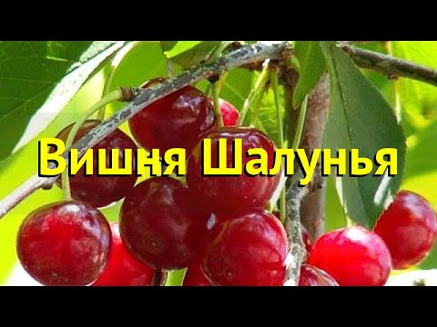Вишня Шалунья. Краткий обзор, описание характеристик, где купить саженцы Prunus Cerasus Shalunya