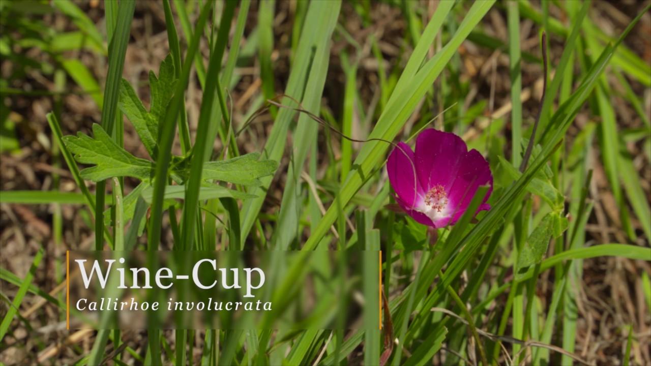 Oklahoma Native Wildflowers - YouTube