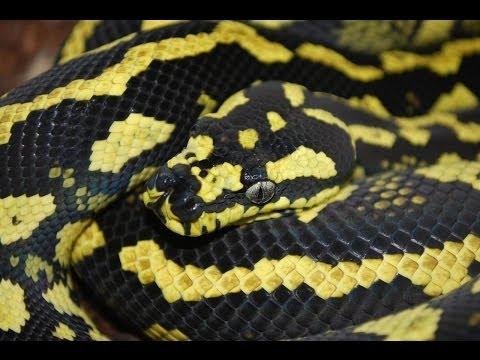 Australian Reptile Show! SnakeBtyesTV