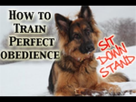 how-to-teach-any-dog-perfect-obedience!-(sit,down,stand)