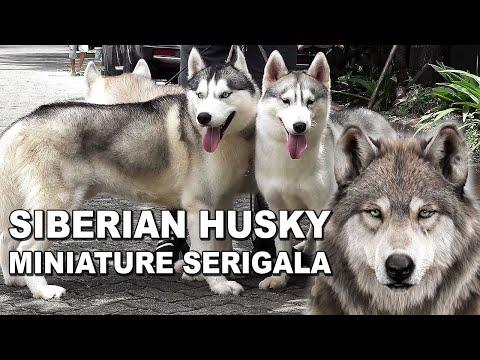 SIBERIAN HUSKY SI ANJING MINIATURE SERIGALA – CIRI ANJING PAMERAN – DOG SHOW QUALITY