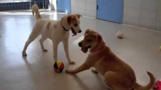 Sal, Sadie & Sanford Are Labrador Retriever:hound Mix Puppies Available For Adoption At The Wisconsin Humane Society