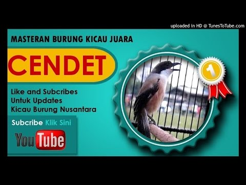 Suara Cendet Gacor - Masteran Cendet Durasi Panjang Full Isian HD