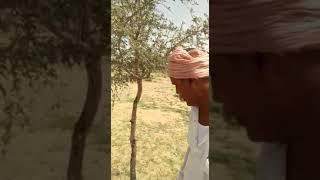 राजस्थान का कल्प वृक्ष खेजङी पर ग्राफ्टिंग करते हुए रामेश्वर लाल जाट 9929715248
