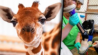 Baby Giraffe Gets New Shoes to Mend Foot Condition