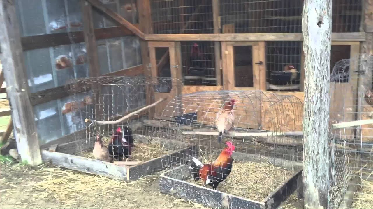 Building A Gamefowl Brood Pen - Year of Clean Water