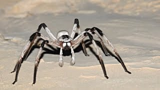 The World's BIGGEST Spiders