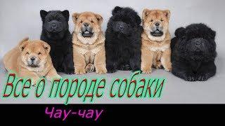 Чау чау о породе собаки! Полное описание породы