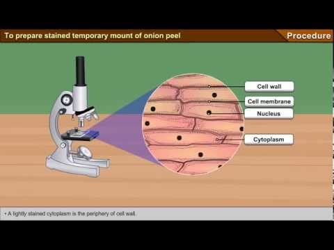 study of onion epidermal cells and human cheek cells