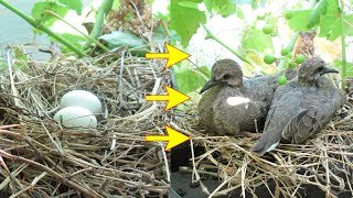 Baby bird mourning doves, from eggs, hatching, to empty nest