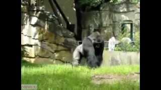 Бабуин атакует людей землей))(Ржачный бабуин кидает в людей землей., 2012-03-29T12:25:39.000Z)