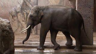Training mit dem Elefantenbullen