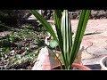 Финиковая пальма.  Легко вырастить из косточки финиковую пальму?