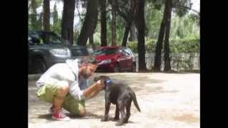 Labrador Retriever Choco Baby Class Training.wmv