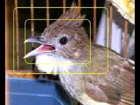Suara burung Cucak Jenggot Gacor Masteran burung Cucak Jenggot Durasi Panjang Full Isian HD