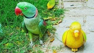 Raw Parrot | Parrots Ke Androni Zakhm Ka Gharelu ilaj By