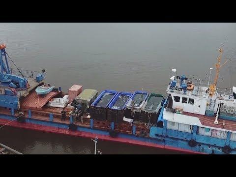 Выпущенные из «китовой тюрьмы» косатки проплыли более 400 км