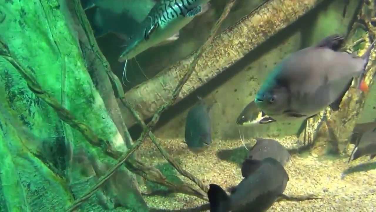 Fish aquarium in bangladesh - Saltwater Aquarium Fish Catfish Airapima Arowana Datnoid Catfish Peacock Rare Fish Hd Music Youtube