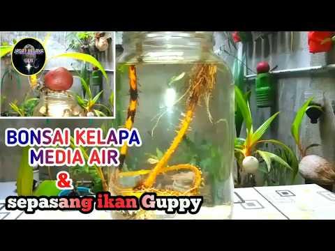 Kolaborasi Cantik Bonsai Kelapa Media Air Dengan Mini Aquarium