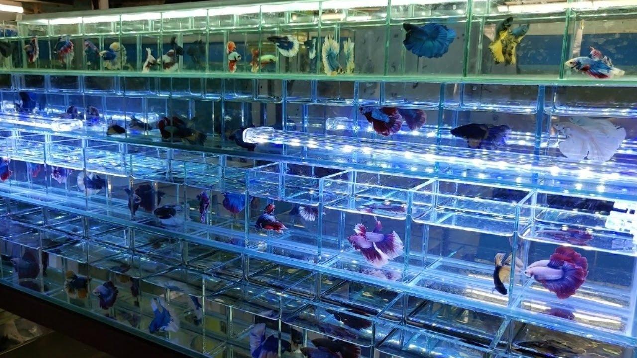 Betta Fish at Tabrez Fish Shop Kurla Fish Market