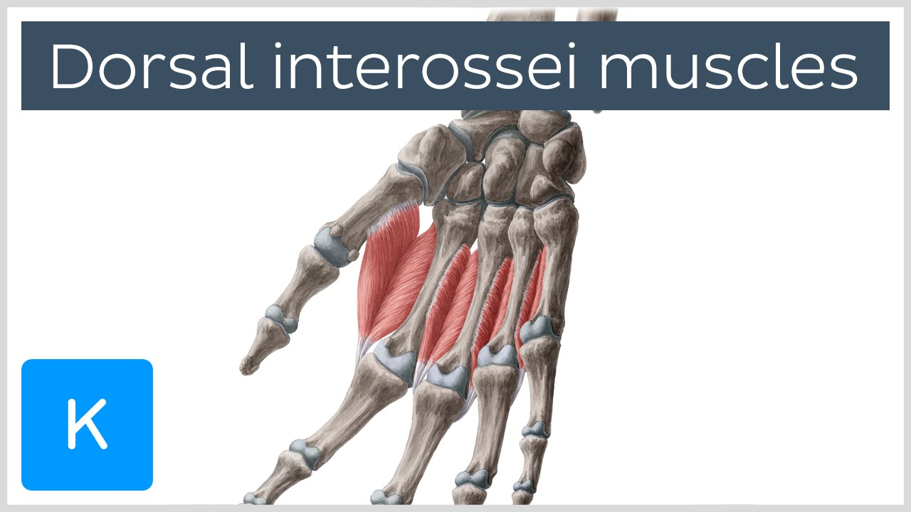 Dorsal Interossei Muscles Of The Hand Human Anatomy Kenhub Youtube