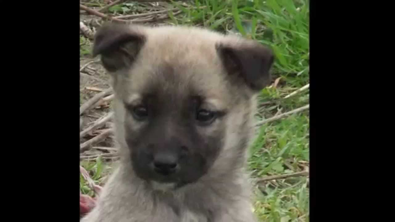 Anatolian And German Shepherd Mix Puppies Youtube