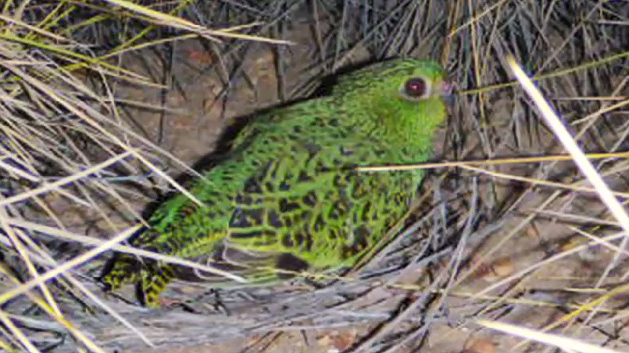 Yes! More Australian night parrots discovered