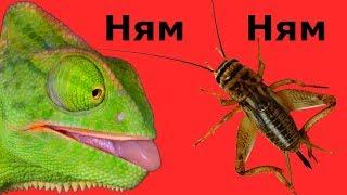 ВЛОГ Что ест мой хамелеон Кормление хамелеона Бакса Vlog Feeding chameleon eats Qué come un camaleón