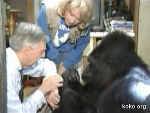 Koko meets Mr. Rogers, her favorite celebrity