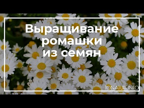Выращивание ромашки из семян | toNature.info