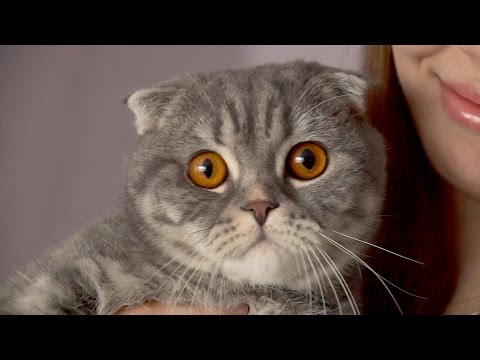 Отзывы о шотландских вислоухих котах