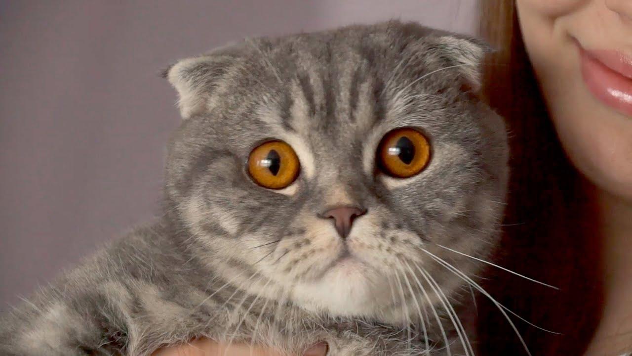 Шотландская вислоухая - популярная порода кошек - YouTube