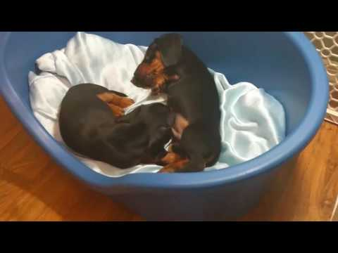 Dachshund puppies 8 weeks old: first vaccines and official Vet exam
